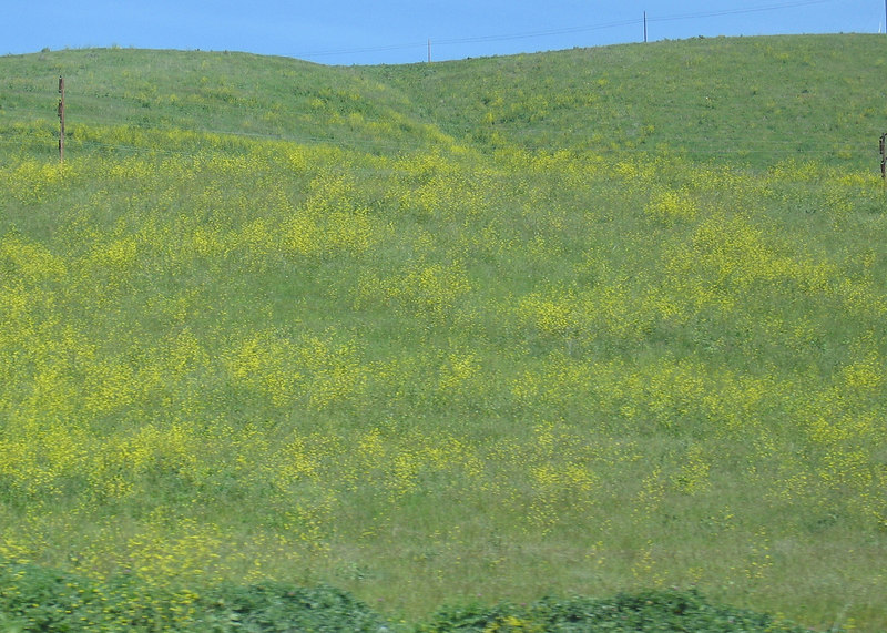 Hills filled with yellow flowers just north of Santa Barbara, CA along Highway 101