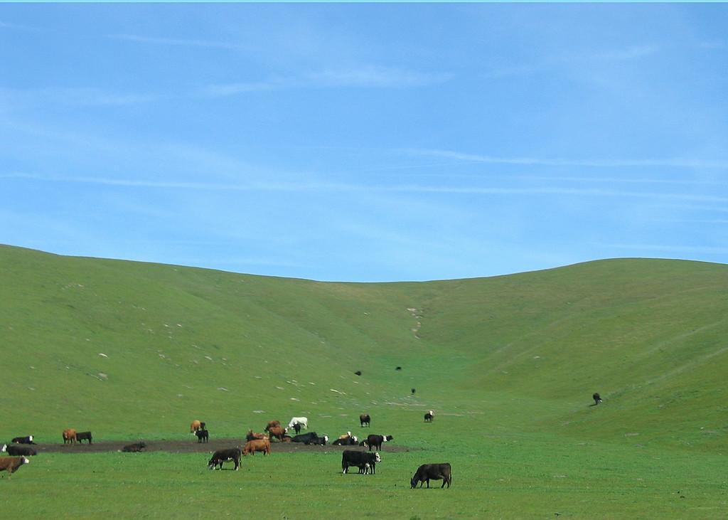 Cows around Los Alamos, CA