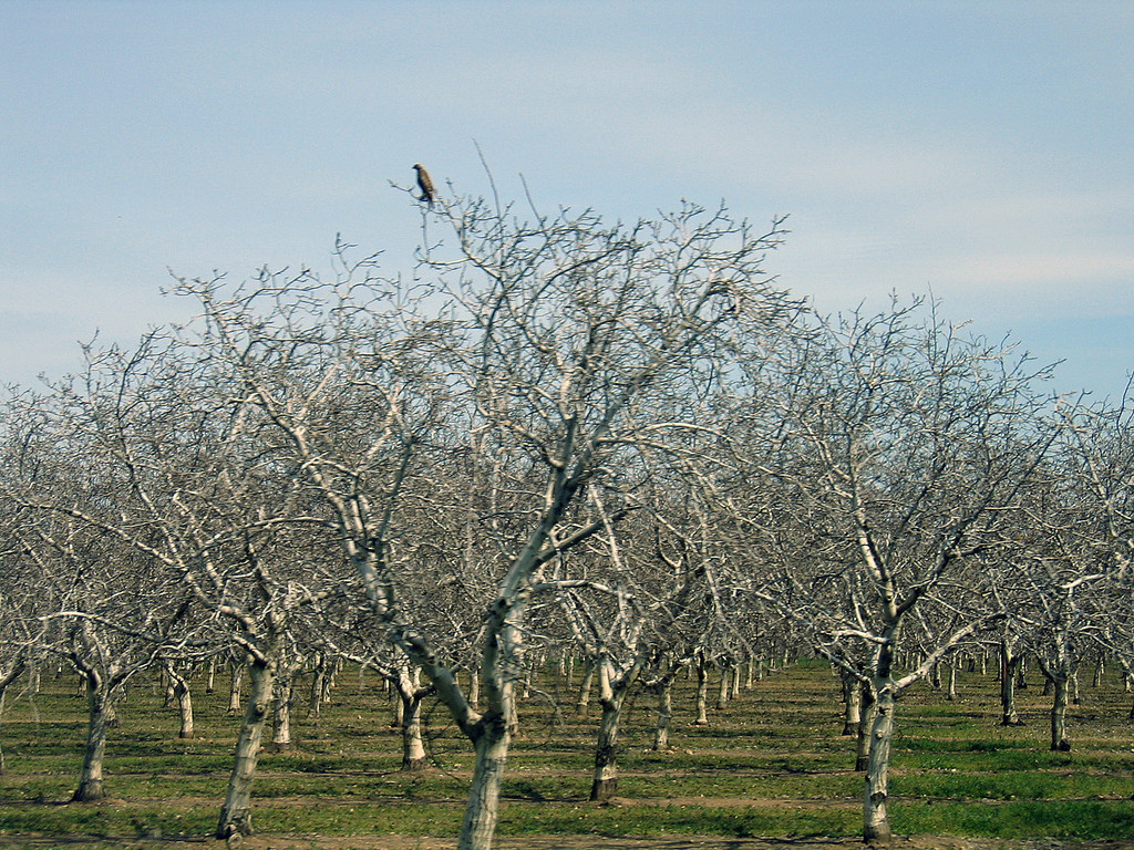 Orchard south of Patterson, CA along Interstate 5