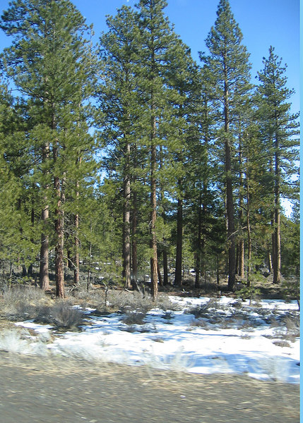 Trees and snow along road from Weed, CA to Klamath Falls, OR