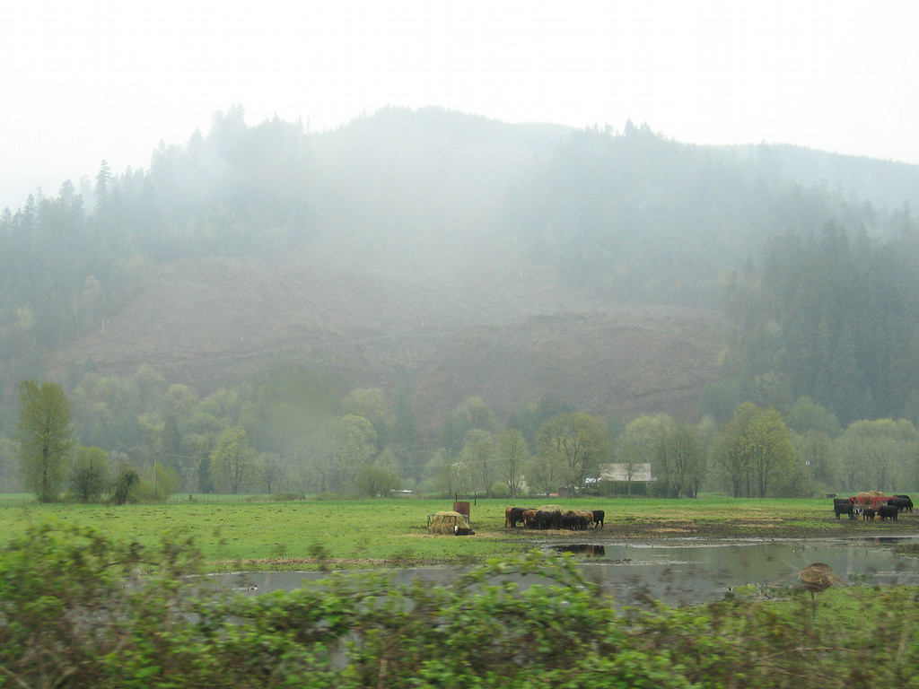 Cows in the mist  along the McKenzie River drive