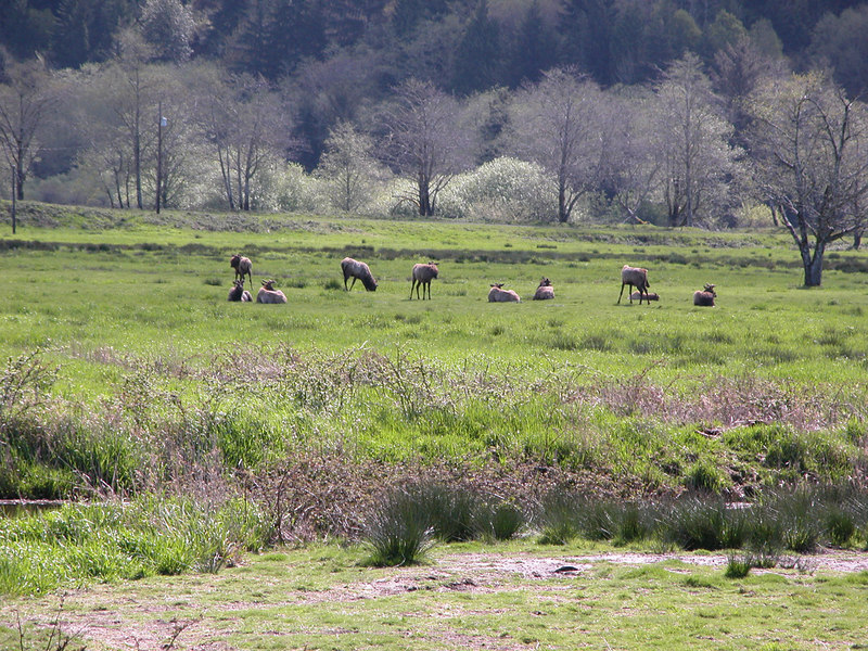 Elk at the Dean Creek Elk Viewing Area  just outside of Reedsport, OR