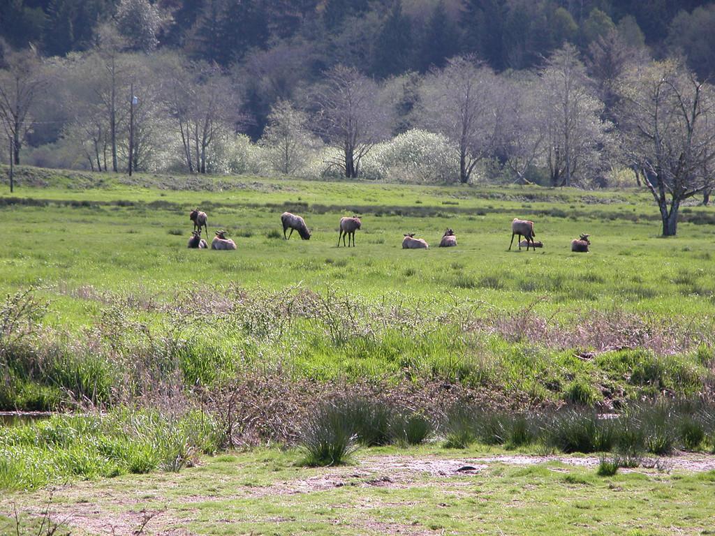 Elk at the Dean Creek Elk Viewing Area  just outside of Reedsport, OR