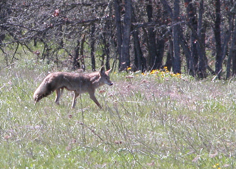 Coyote around Memaloose Overlook