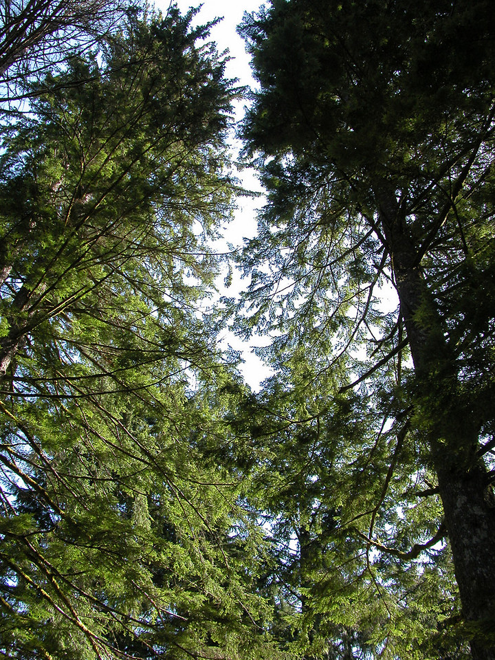 Beautiful tall trees at Tollgate Park, OR