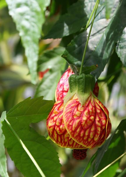 Flowering Maple Magic Lantern