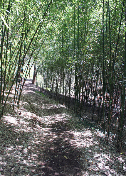 Bamboo along the Biltmore Woodland Trail