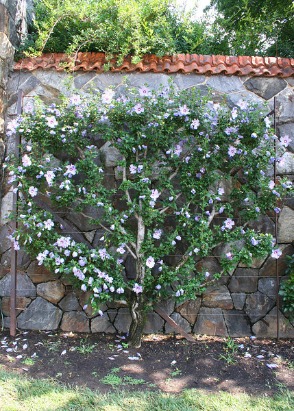Flower bush staked on wall