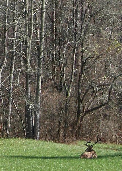Elk on our drive through the Smokey Mountains