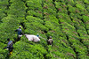 Workers harvesting tea leaves.