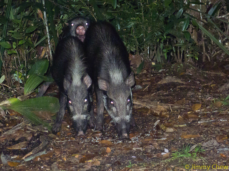 Wild boars Tom, Dick and Harry. Dick looking at us.