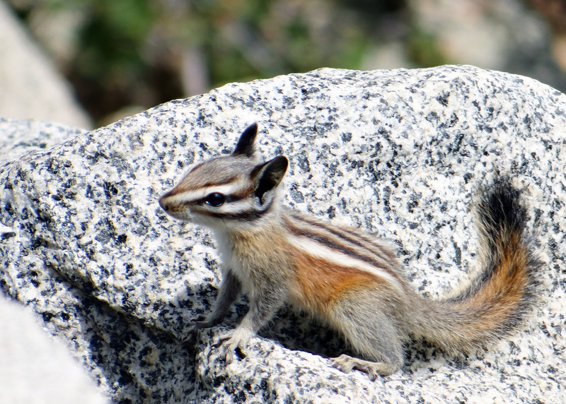Chipmunk at Glacier Point