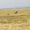 wildebeast and gazelle
