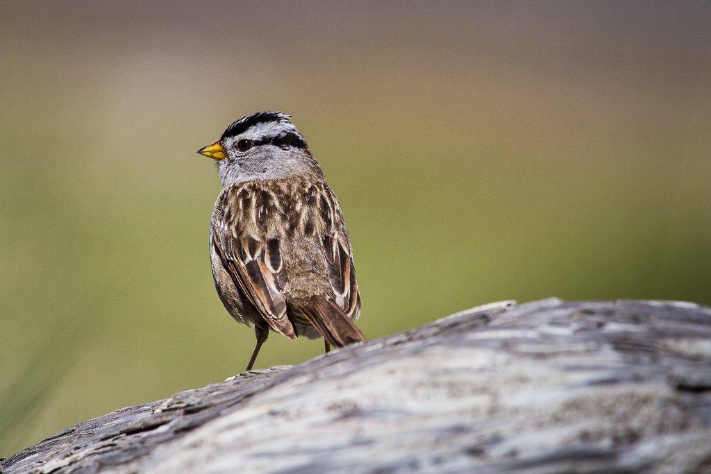Fort Stevens, White-crowned sparrow