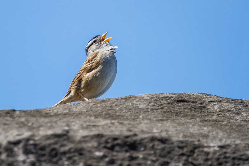 Fore Stevens, White-crowned sparrow