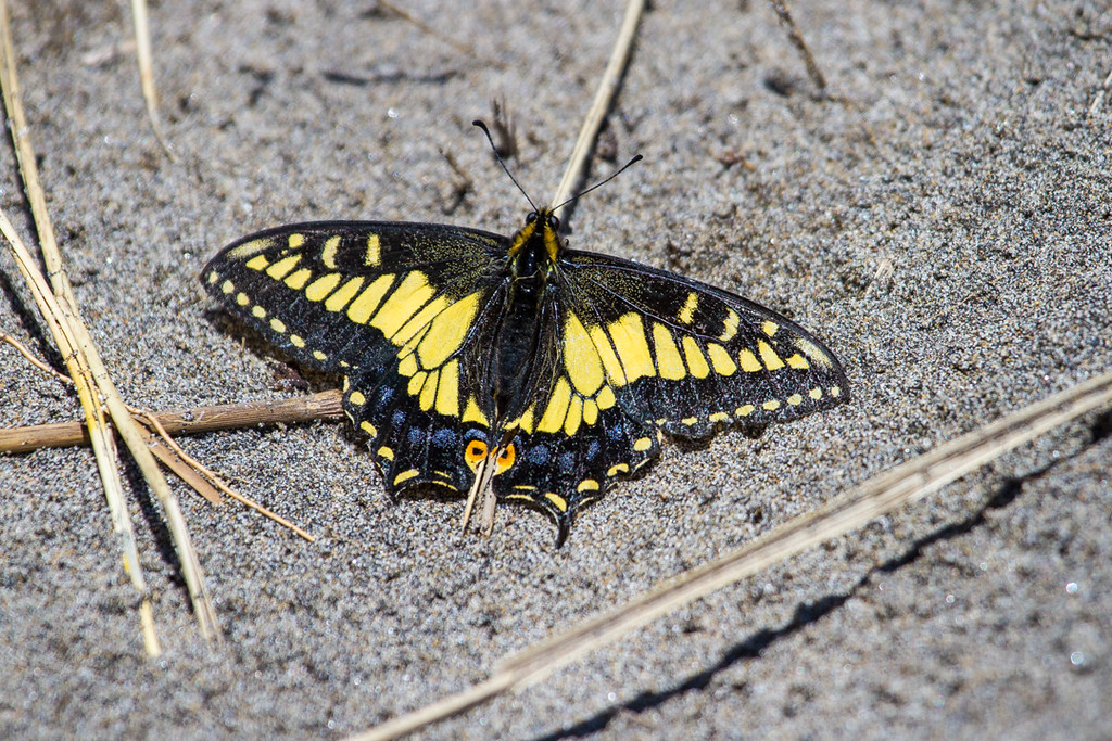 Fort Stevens, Anise Swallow Tail