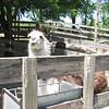 Dolly the Llama at Larsen Family vineyards