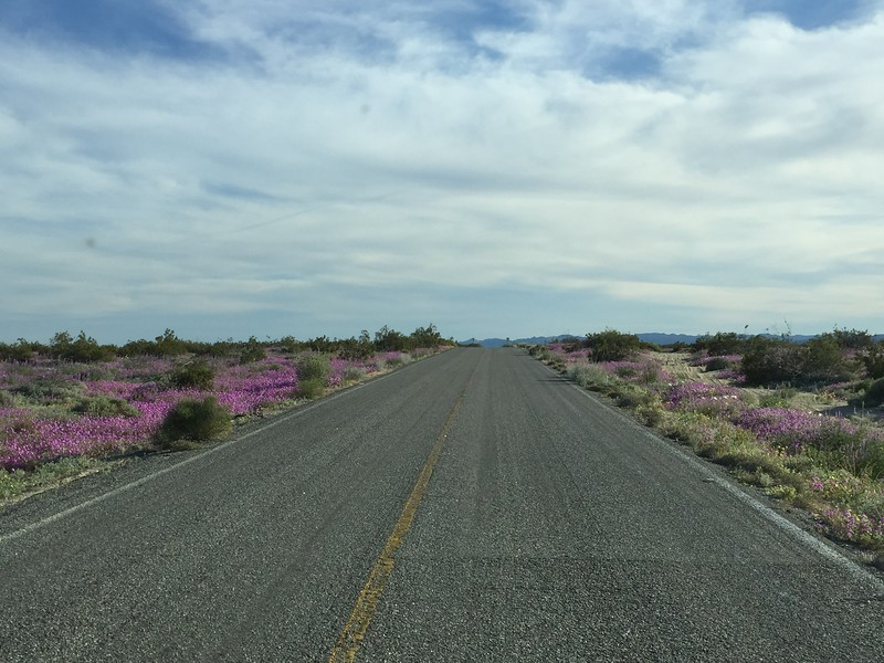This part of the countryside, just south of San Felipe, was painted by the blooming wild Lupines, something that only occurs after good fall rains (hurricane)