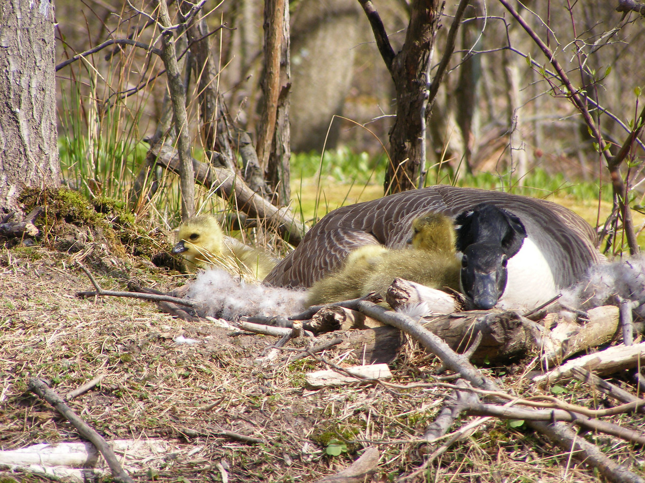 Mother goose intent on any threat to goslings