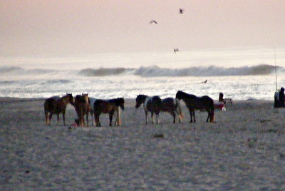 Faraway ponies on the pre-dawn beach