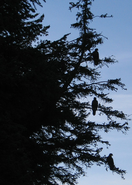 Three immature eagles silhouetted in tree