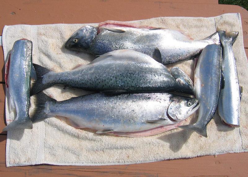 Three salmon and three Dolly Varden