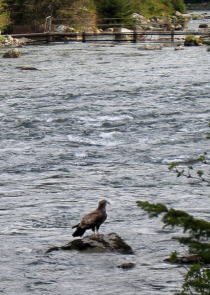 An immature eagle. The immature eagles have brown heads.  The mature ones have the white heads.