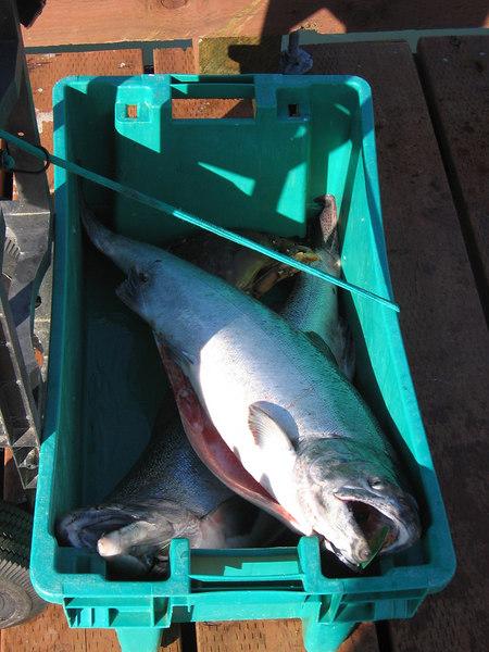 A bucket of salmon