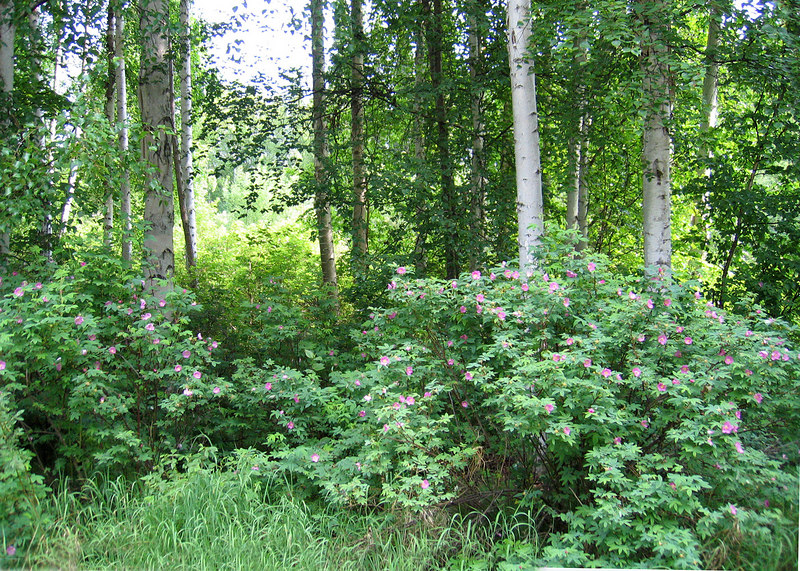 The beautiful roses against trees in Chena River Lake Recreational Area