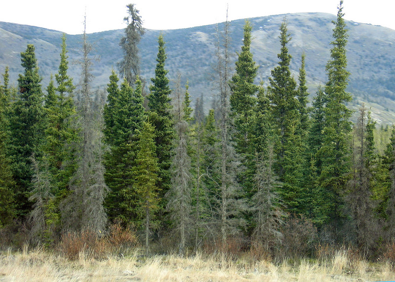Notice the dead spruce mixed in with the living spruce.  It is estimated that 2.3 million acres were infested by the spruce beetle