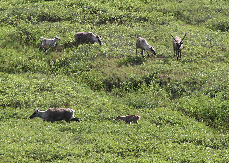 A family of caribou