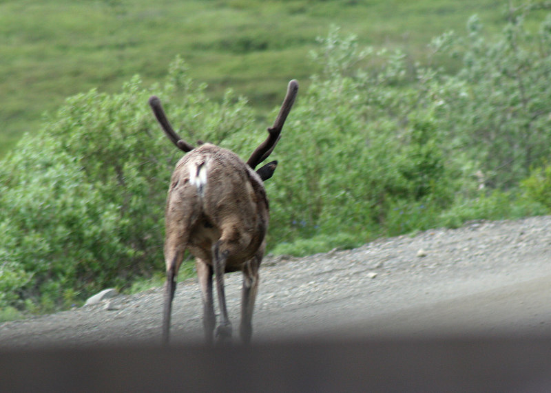 Our bus followed this caribou down the road for 5 minutes or so before it ran off