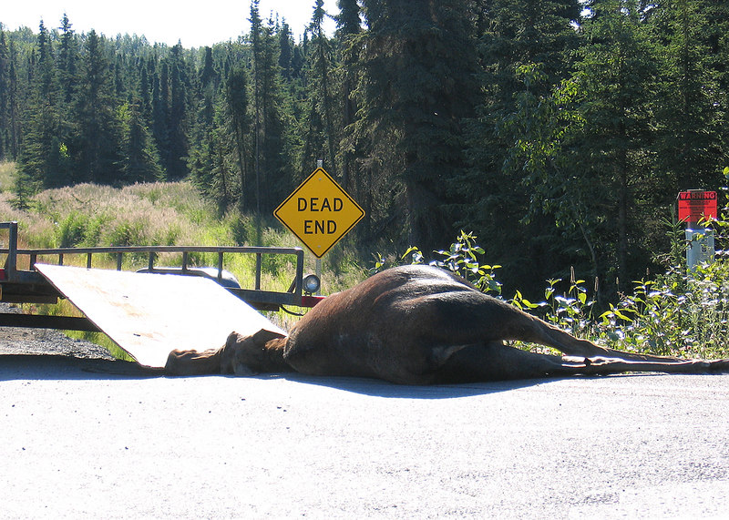 Dead moose along Sterling Highway in Kasilof, AK.  When an animal has been hit and killed there is a program where people on a list can  claim the meet for food.