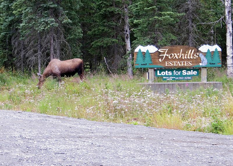 Moose along Kalifornsky Beach Road on way to Kenai, AK