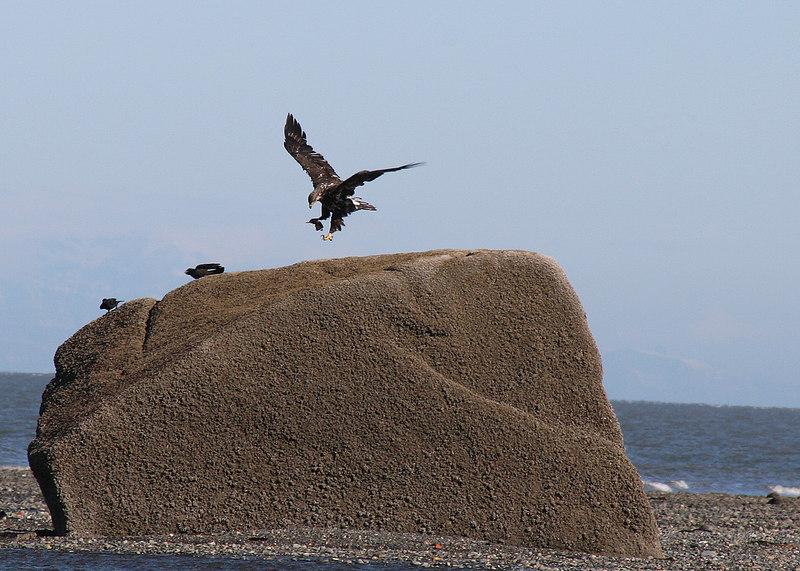 Eagle at the beach at Ninilchik Village, AK