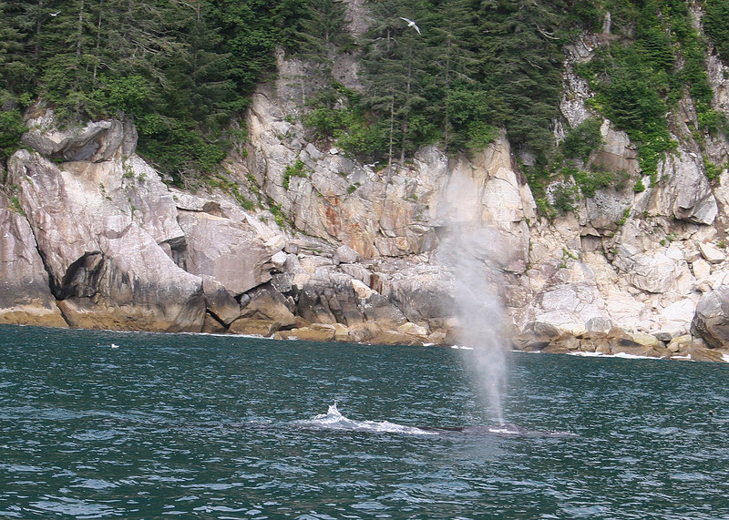 Whale spouting in Pony Cove