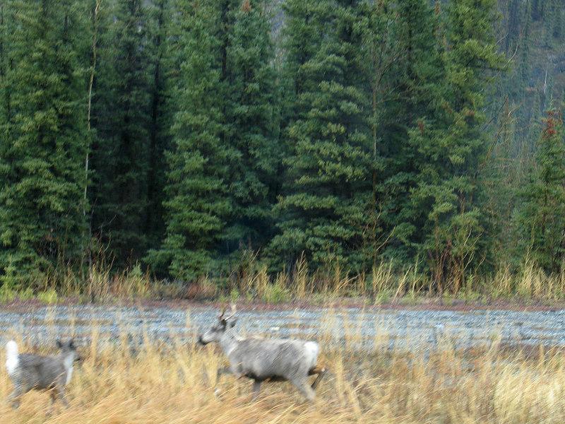 More caribou
