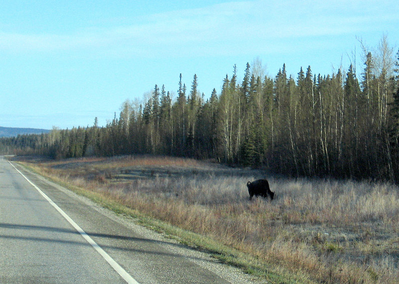 A buffalo we saw about 10 miles north of Liard Hot Springs, BC