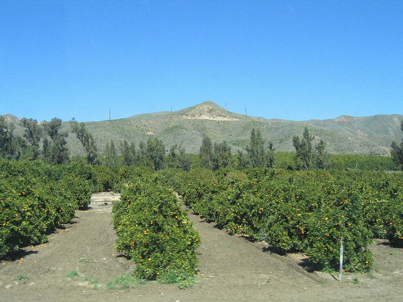 Orange trees around Fillmore, CA