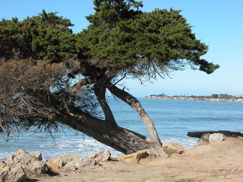 Cypress tree along bike path in Ventura, CA