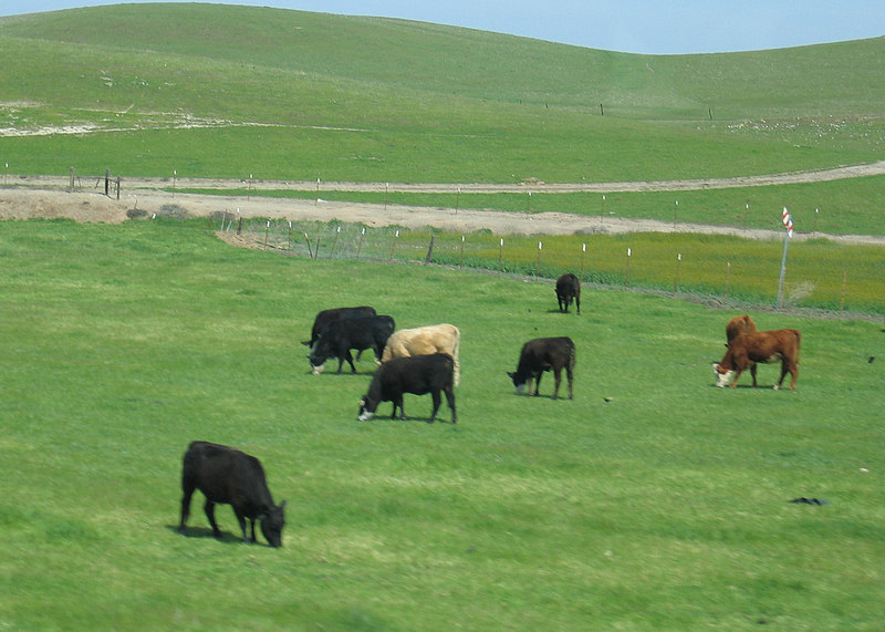 Cows south of Patterson, CA along Interstate 5