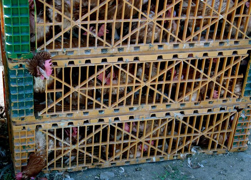 Even more chickens
