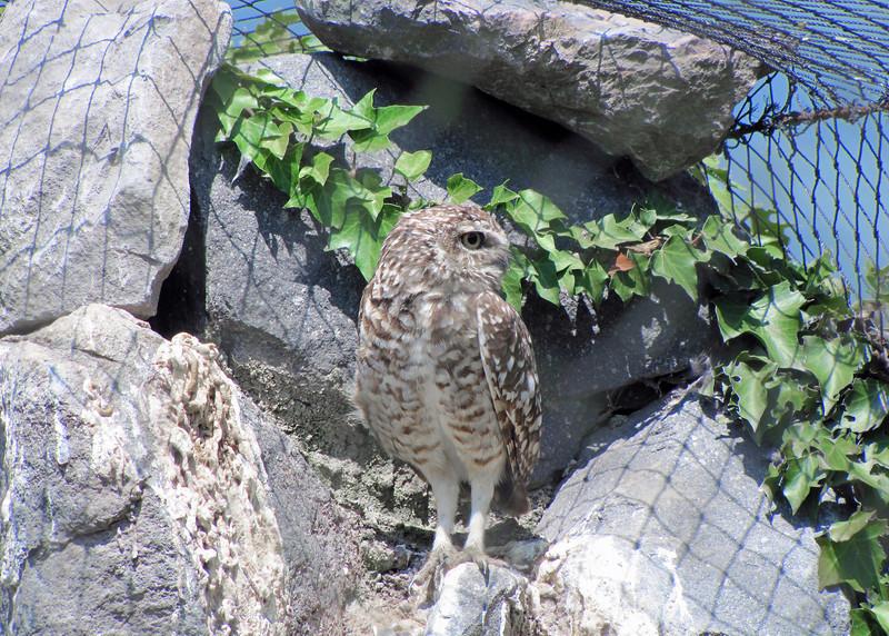 Burrowing Owl at the Parque de Condor.