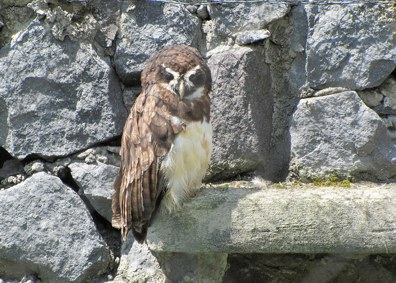 Spectacle Owl at the Parque de Condor.