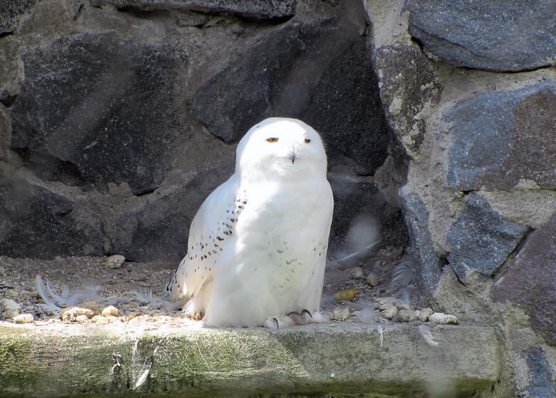 Snowy owl at the Parque de Condor.