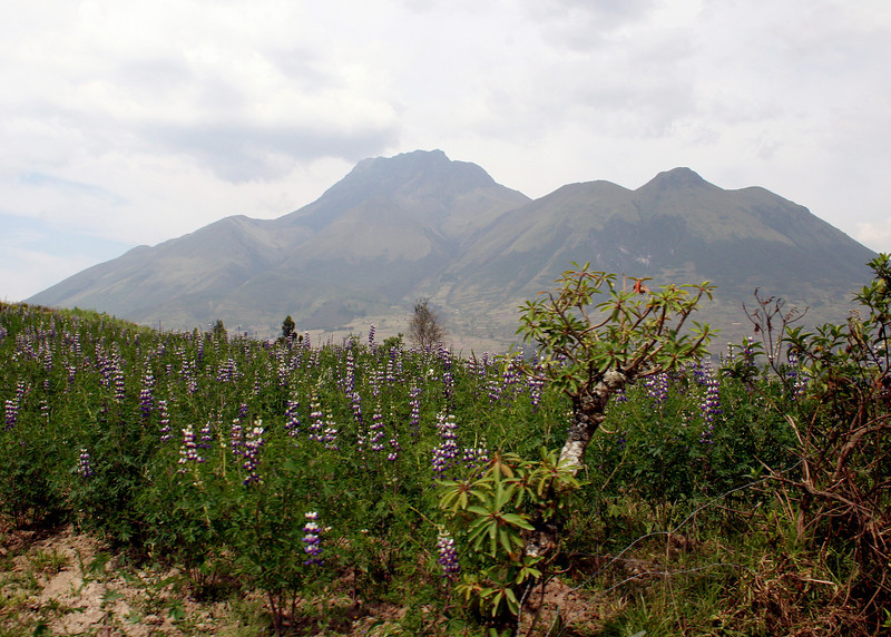 The volcano Imbabura in the distance with Lupine in foreground.  The bean of the Lupine is eaten.