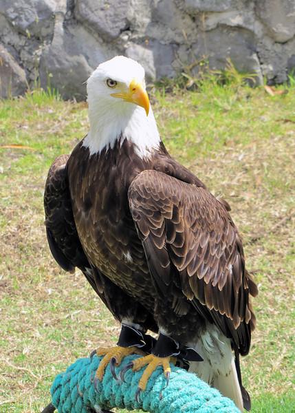 Bald Eagle at the Parque de Condor.