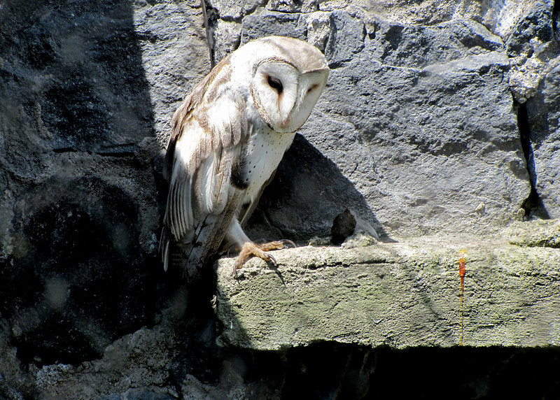 Barn Owl at the Parque de Condor.