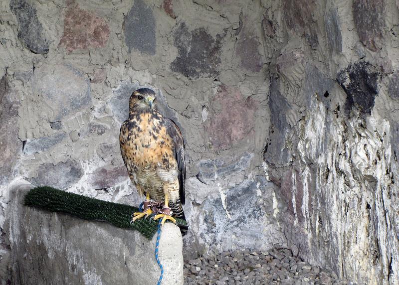 Falcon at the Parque de Condor.