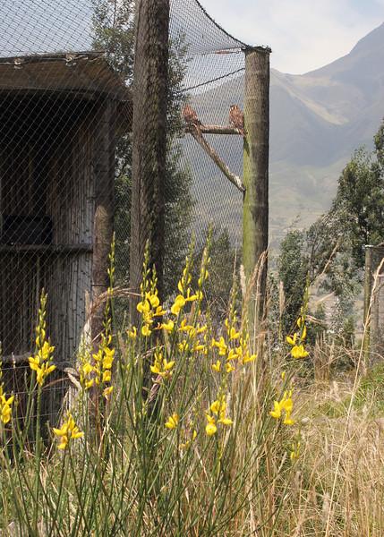 Kestrels at the Parque de Condor.